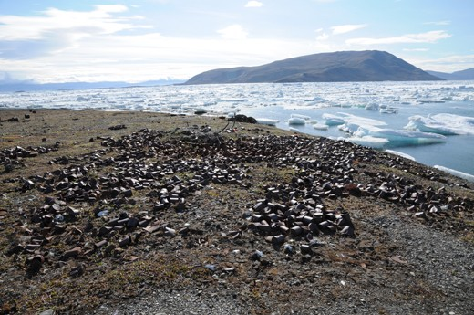 A photograph from 2010 showing thousands of tin cans scattered across the site of Fort Conger. These cans were once used to construct a large structure called the post office cairn by members of the British Arctic Expedition. It has since collapsed.