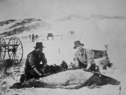 A historic picture showing a Greenlandic guide butchering a seal for the Lady Franklin Bay Expedition.