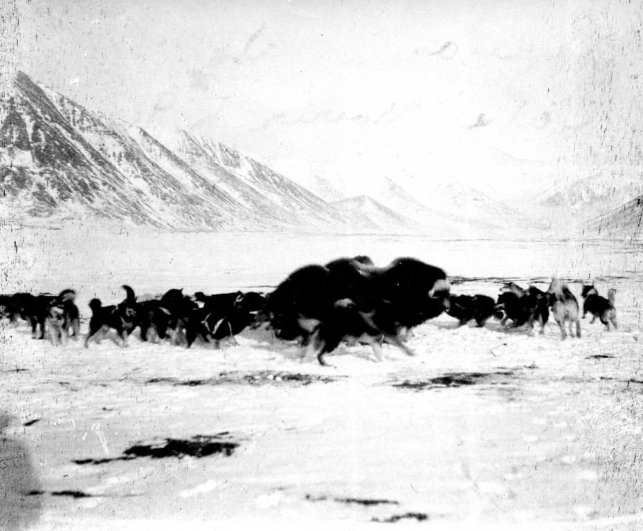 A historic photograph showing a group of muskox being corralled by Inuit dogs